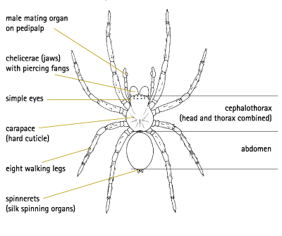 labeled spider diagram spiders labeled circuit diagram